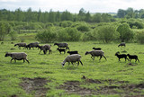 A lot of sheep grazing on pasture. - 164632391