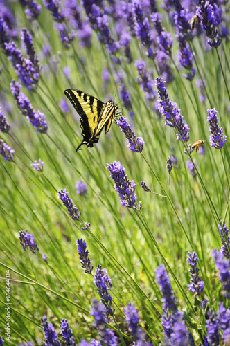 Lavender flowers closeup with yellow swallowtail butterfly/Western tiger swallowtail butterfly in a field of lavender flowers