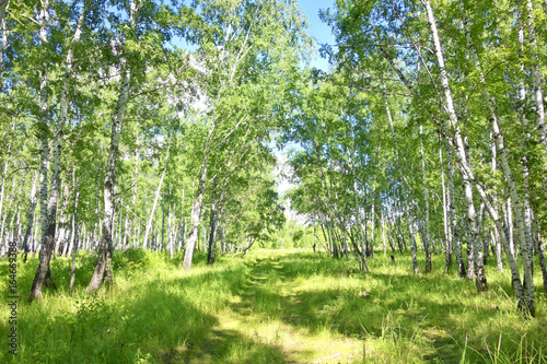 Papiers peints Bosquet de bouleaux birch forest