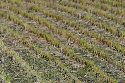 稲刈り後の田んぼ、セグロセキレイ Plakát