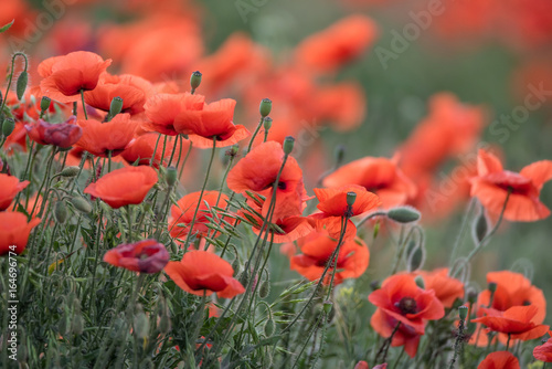 Spring field with wild poppies
