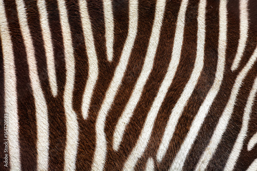 Real zebra stripes background texture from a living animal Poster
