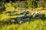 Schafe auf der Weide - 164721328