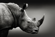 Quadro Highly alerted rhinoceros monochrome portrait. Fine art, South Africa. Ceratotherium simum