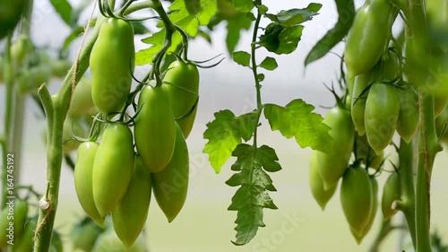 Closeup of green unripe tomato in greenhouse.
