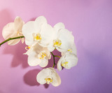 Italy,8 July 2017,White orchid on a light purple background