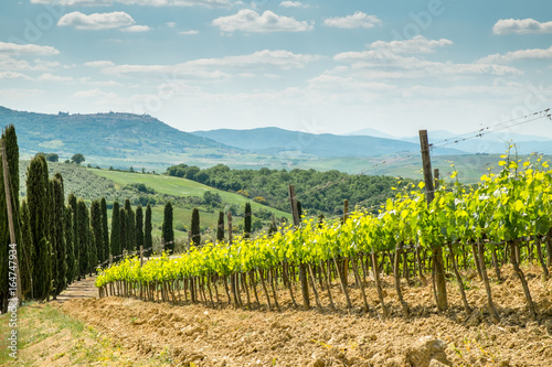 Vines in Tuscany. Grape fields in the countryside of Tuscany in the spring, Italy