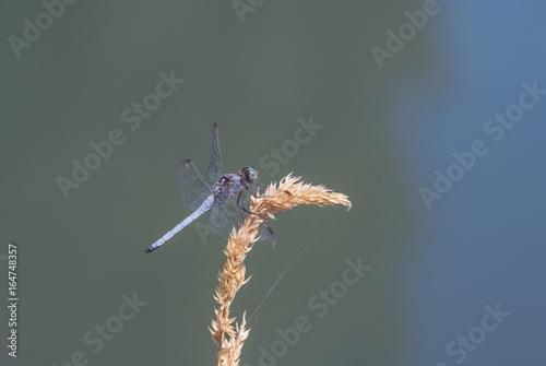 Libellula su una pianta Poster