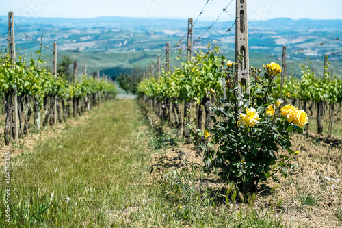 Vineyard with roses in Tuscany in the spring, Italy