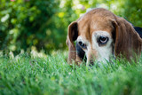 Portrait of an old beagle hound dog looking up with sad eyes outside on grass.