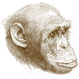 engraving illustration of chimp muzzle