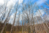 Sunny Russian landscape of birch trees at blue sky background.