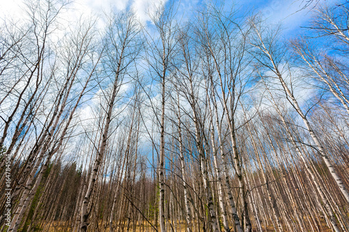 Fotobehang Berkenbos Sunny Russian landscape of birch trees at blue sky background.