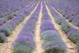 Lavender cultivation field in a sunny summer day