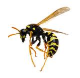 wasp isolated on white - 164805931