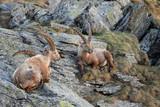 Alpine Ibex - Capra ibex, Alps, Austria
