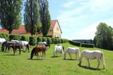 Lipizzaner: Stuten mit Fohlen auf einer Weide - 164808984