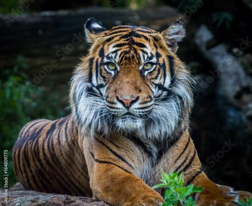 tygrys sumatry