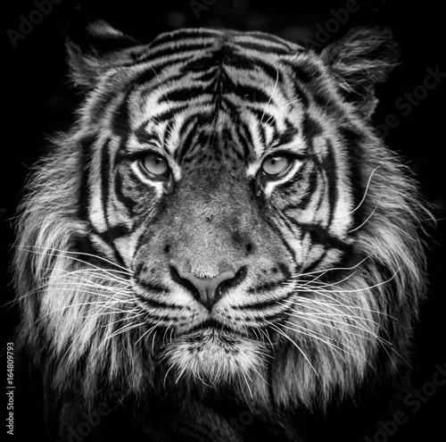 Fotobehang Tijger tigre