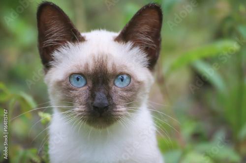 Nine Lives, Blue eyed Cat, portrait a siamese cat like soft