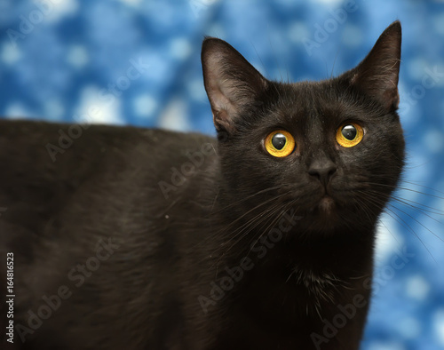 Black cat with amber eyes on a blue background