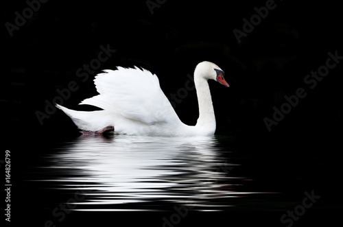 Fotobehang Zwaan White swan on a black background
