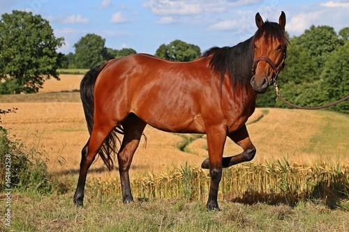 quarter horse in der natur
