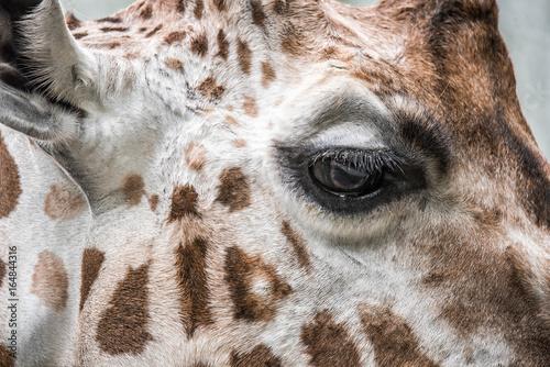 Żyrafa Poster
