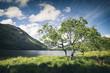 roleta: Alone Green Tree by Llyn Gwynant Lake in Snowdonia UK