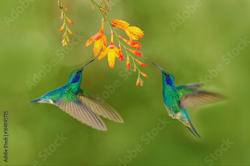 Dwa ptak z pomarańczowym kwiatem. Zielony kolibry Zielony fiołek-ucho, Colibri thalassinus, latający obok pięknego żółtego kwiatu, Savegre, Costa Rica. Akcja przyroda przyrody z natury. Latający ptak.