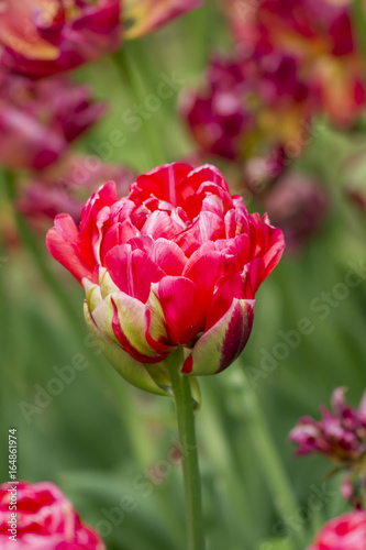 Fotobehang Tulpen red tulip on the field