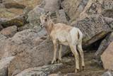 Rocky Mountain Bighorn Sheep Ewe - 164867303