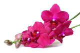 Pink Orchid flowers isolated on white background.