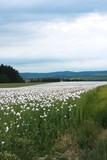 poppy seed field in Czech republic