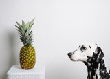 Dog dalmatian and pineapple on a white background. Looks at the fruit