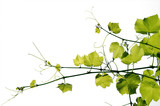 The texture of a young grape-vine isolated on a white background. - 164874581