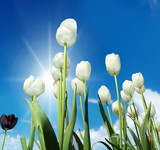 a tulip field in a sunny days