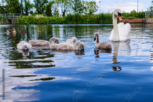 Female mute swan with five 5 cygnets swimming in a lake