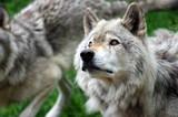 skoncentrowany wilk ze wzrokiem