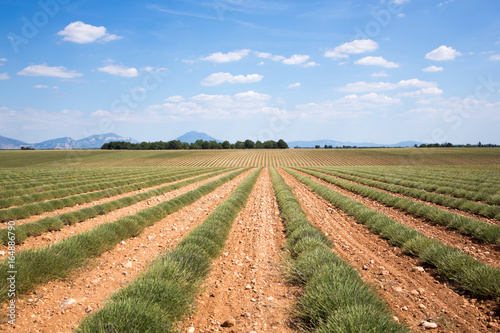 Foto op Plexiglas Lavendel Endless rows of lavender fields of the French Provence