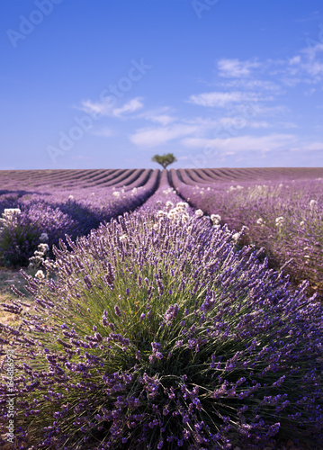 Lavender field in Provence, France © Mike Fouque