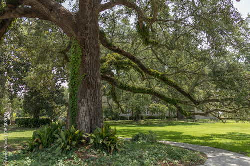 The Mighty Oak Tree with Fern growing on Limbs Poster