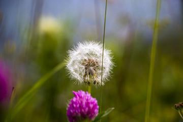 Одуванчик, красивый цветок на зеленой поляне, Растения в дикой природе