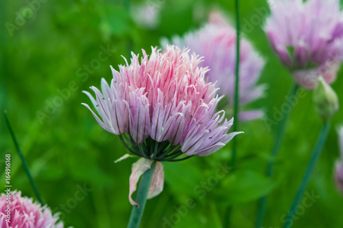 Lilac flower wild onion closeup, summer landscape