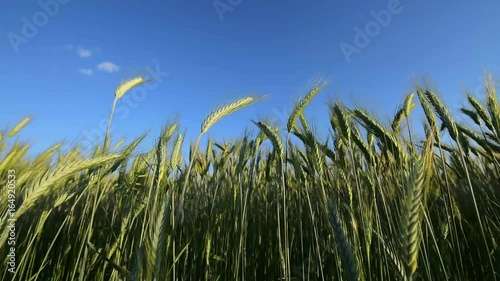 Green barley ears swaying on wind, crop growth in cultivated agricultural field