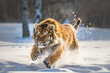 Beautiful young Siberian Tiger enjoying his typical environment,.
