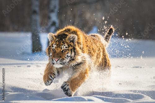 Beautiful young Siberian Tiger enjoying his typical environment,. Poster