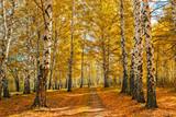 jesienny las brzozowy