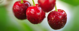 Cherry on a tree branch close up. - 164943128