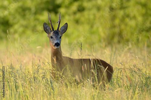Fotobehang Hert Sarna / kozioł wśród traw na dzikiej łące